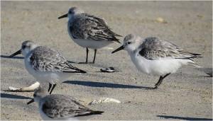 Sanderlings on the beach at Pea Island NWR