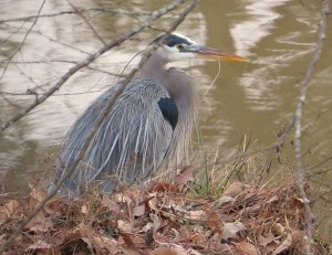 Great Blue Heron photo by Jeff Beane