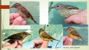 Warblers_JohnGerwin