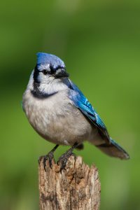 Blue Jay. Photo by Keith Kennedy.