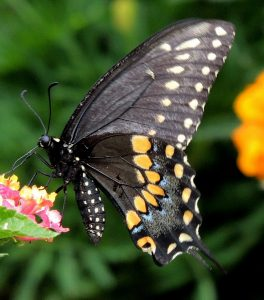 BlackSwallowtail-underneath-3_WAS-butterflyWalk2017_JohnGerwin