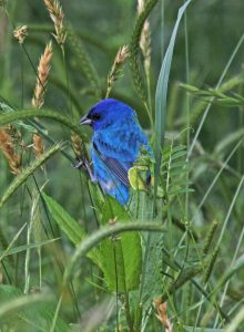 Indigo Bunting at Yates Mill Park. Photo by Bob Oberfelder.