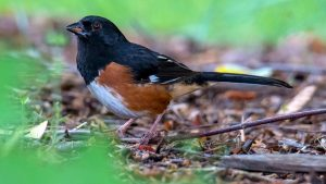 Eastern Towhee, male. Photo by Bob Oberfelder.